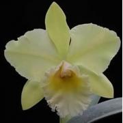 Muda de Orquídea Lc Vicky Gold 329-2