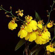 Muda de Orquídea Oncidium Aloha Iwanaga CO06-PA