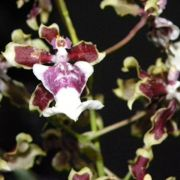 Muda de Orquídea Oncidium Sharry Baby Branca CO16-PA