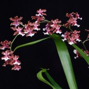 Muda de Orquídea Oncidium Sharry Baby Sweet Fragrance CO133-PA