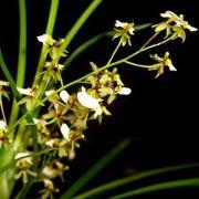 Muda de Orquídea Ornithophora radicans ESP-185-2