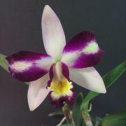 Muda de Orquídea Orquídea Blc Haw Yuan Beauty Hong 453-1
