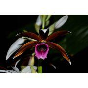 Muda de Orquídea Phaius tankervilleae (capuz de freira)