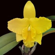 Muda de Orquídea Pot Free Spirit Miami Sun 56-3