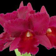 Muda de Orquídea Pot Harng Tay Red Queen 258-PA