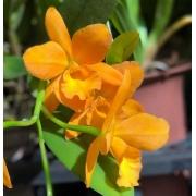 Muda de Orquídea Pot Jim Krull Hunabu 902
