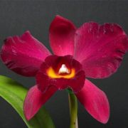 Muda de Orquídea Pot Kozos Scarlet Vi-Emi 500-PA