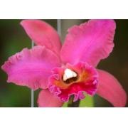 Muda de Orquídea Pot Red Crab Kuan Miao X Blc George King Serendipity 367