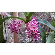 Muda de Orquídea Rynchostyllis Spots SG-7271
