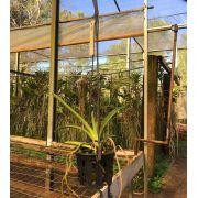 Muda de Orquídea Vanda MSV231 V. Sankamphaeng x V. Charles Goodfellow x MSV248 V. Vivan x V. Sanderiana 7104