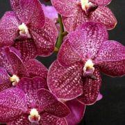 Muda de Orquídea Vanda Noppadol Delight VA092-PA