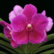 Muda de Orquídea Vanda Pachara Delight VA010-3