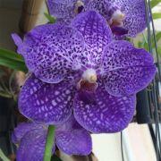 Muda de Orquídea Vanda Somsri Glory Blue VA094-3
