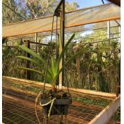 Muda de Orquídea Vanda SSC Nº 713 [(V. Eisenhower x V. Bill Sutton) x V. Fred Kirby] x Ascda Bonanza Belle Twe 6700