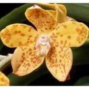 Muda de Orquídea Vandopsis gigantea ESP-201-1