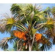 Muda de Palmeira Buriti feita de semente