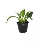 Muda de Philodendron Pacová pote 19