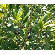 Muda de Pimenta da Jamaica feita de semente - FC