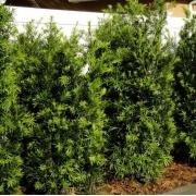 Muda de Podocarpo ou Podocarpus feita de Semente