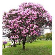 Muda de Quaresmeira Rosa (Tibouchina) feita de semente