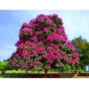 Muda de Resedá Gigante Rosa Banabá (Lagerstroemia speciosa) feita de estaca