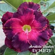 Muda de Rosa do Deserto Ametista Bicolor EV-14321