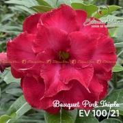 Muda de Rosa do Deserto Bouquet Pink Triplo EV-10021