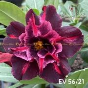 Muda de Rosa do Deserto Confúcio EV-05621