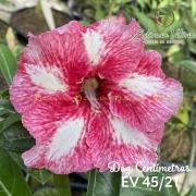 Muda de Rosa do Deserto Dez Centímetros EV-04521