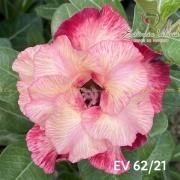 Muda de Rosa do Deserto EV-06221