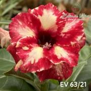 Muda de Rosa do Deserto EV-06321