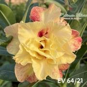 Muda de Rosa do Deserto EV-06421
