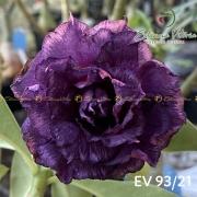 Muda de Rosa do Deserto EV-09321