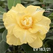 Muda de Rosa do Deserto EV-18321