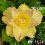 Muda de Rosa do Deserto EV-18621