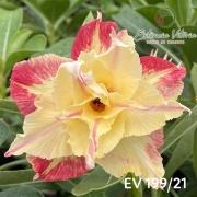 Muda de Rosa do Deserto EV-19921