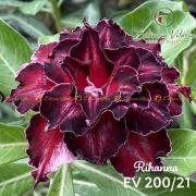 Muda de Rosa do Deserto Rihanna EV-20021