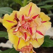 Muda de Rosa do Deserto EVM-022