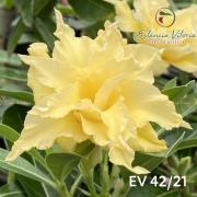 Muda de Rosa do Deserto Gold EV-04221