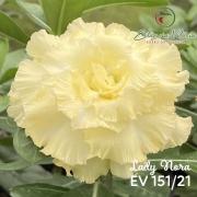 Muda de Rosa do Deserto Lady Nora EV-15121