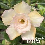Muda de Rosa do Deserto Pérola Perfumada EV-03221