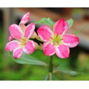 Muda de Rosa do Deserto Pink Chick EV-95