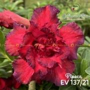 Muda de Rosa do Deserto Pipoca EV-13721