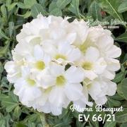 Muda de Rosa do Deserto Pluma Bouquet EV-06621