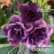 Muda de Rosa do Deserto Prima de Sansão EV-16321