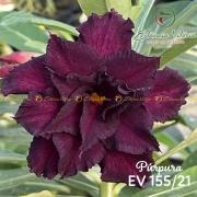 Muda de Rosa do Deserto Púrpura EV-15521
