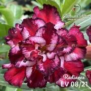 Muda de Rosa do Deserto Radiance EV-00821