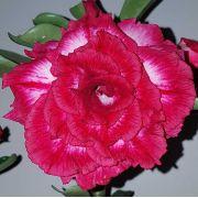 Muda de Rosa do Deserto Red Sun EV-23