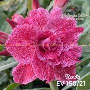 Muda de Rosa do Deserto Renda EV-15021