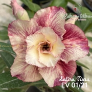 Muda de Rosa do Deserto Safira Rosa EV-00121